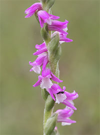 Spiranthes australis