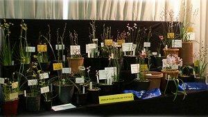 Australian Native Orchid Show 2020
